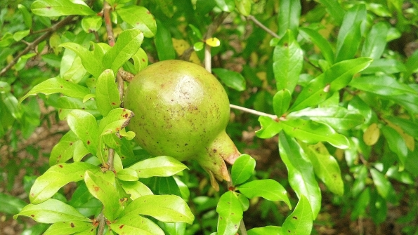 An unripe pomegranate still on the tree